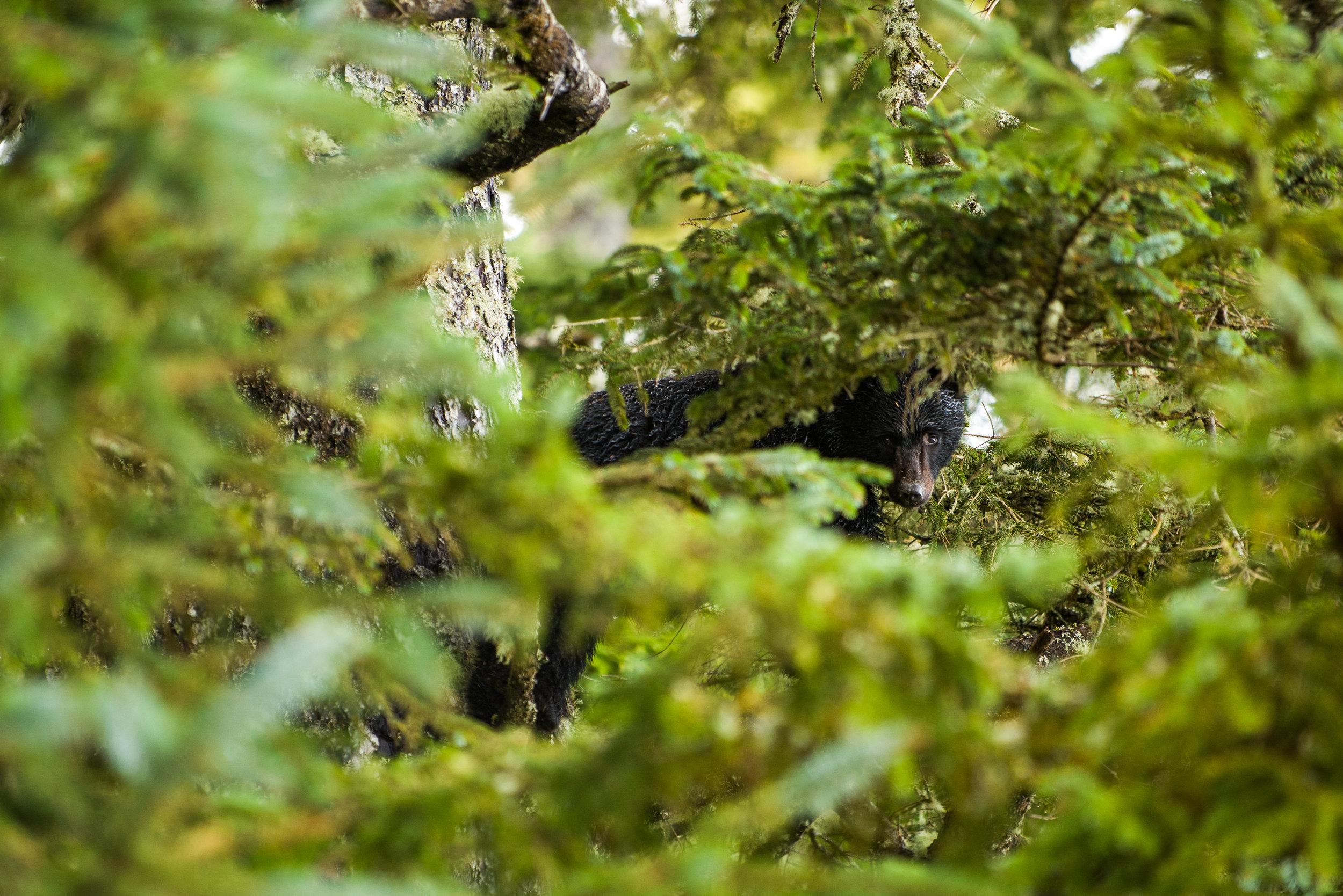 Juvenile Black Bear