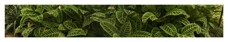 """Zebra Plant, 2003 18"""" x 96"""""""