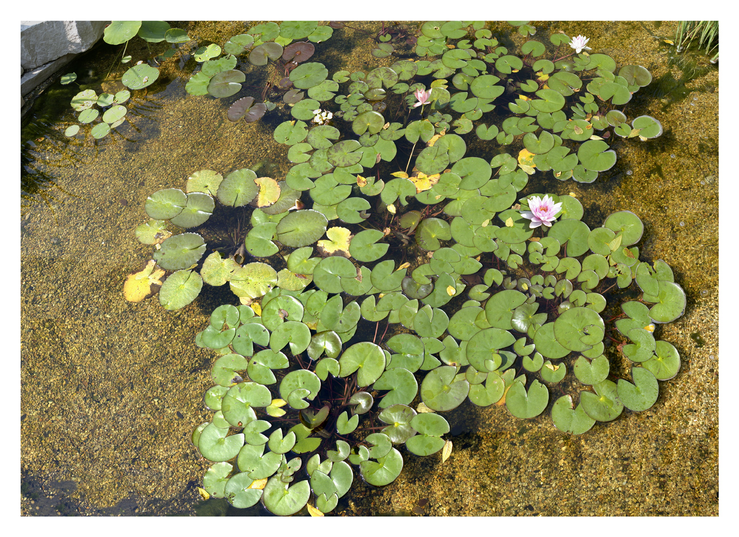 """Water Lilies, 2002 48"""" x 66"""""""
