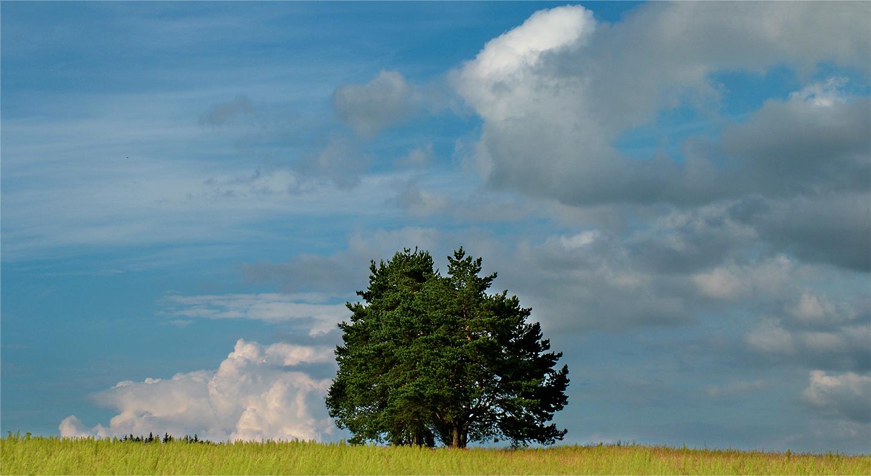 """Solomidino Tree, 2008 28"""" x 48"""""""