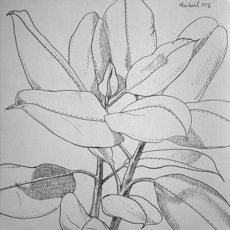"Schefflera, 1973  10"" x 10"" Pencil on Rives BFK"