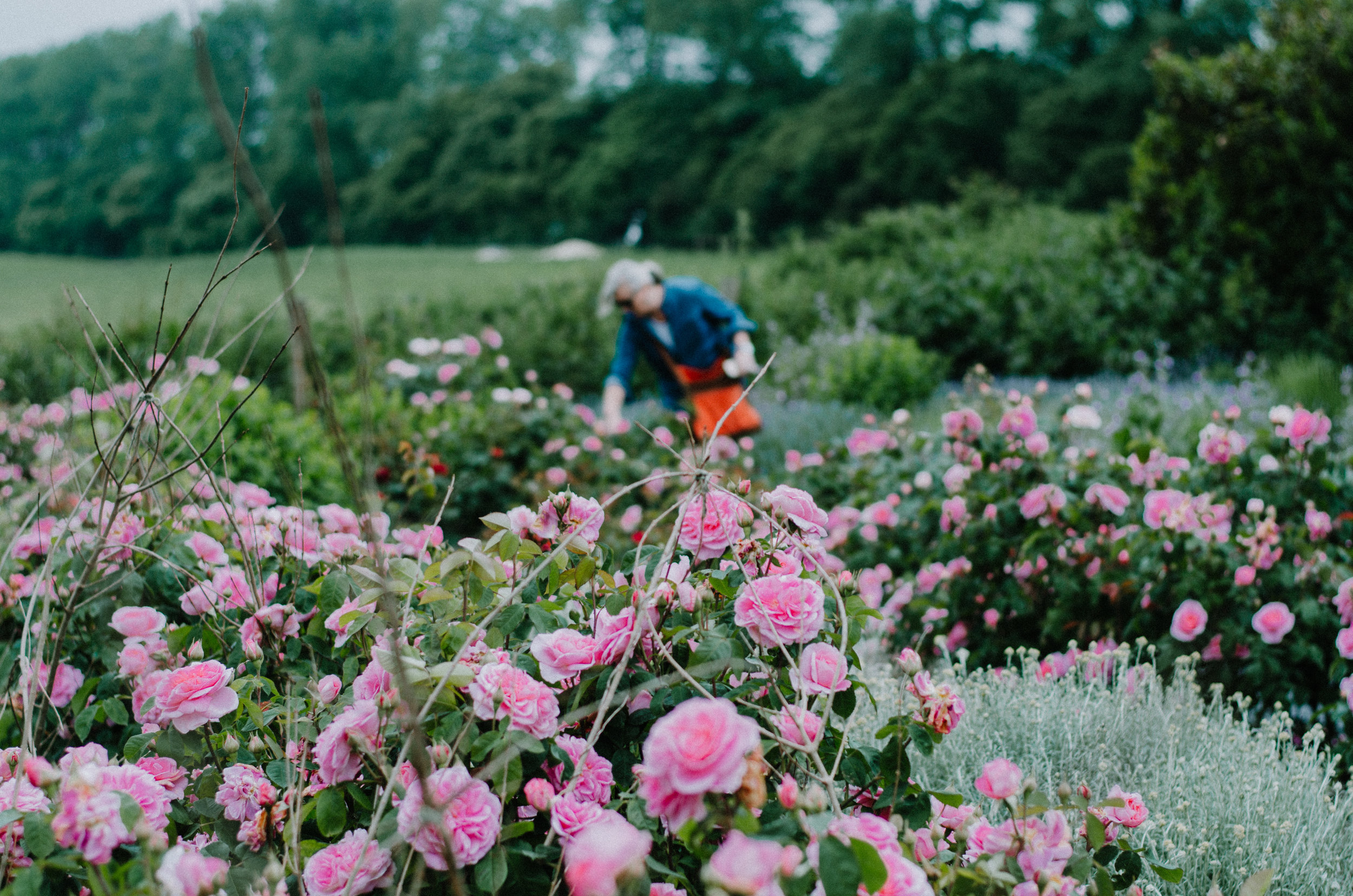 Fierce Botanics - Rose Picking - Aiste Saulyte Photography-8.jpg