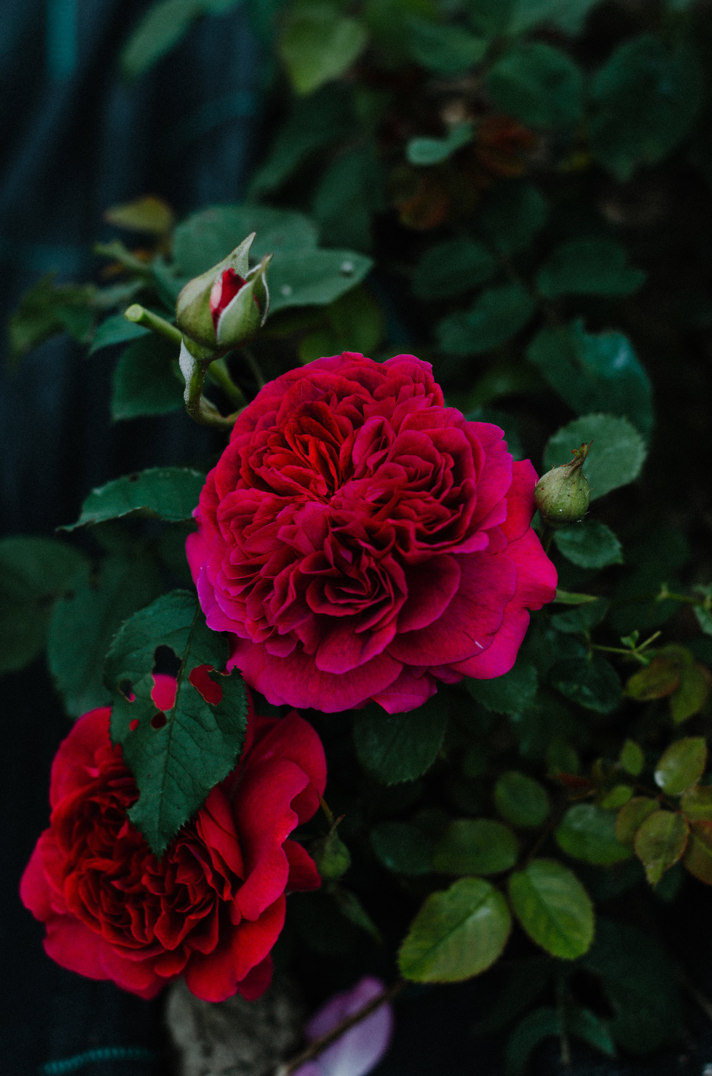 Fierce Botanics - Rose Picking - Aiste Saulyte Photography-94.jpg
