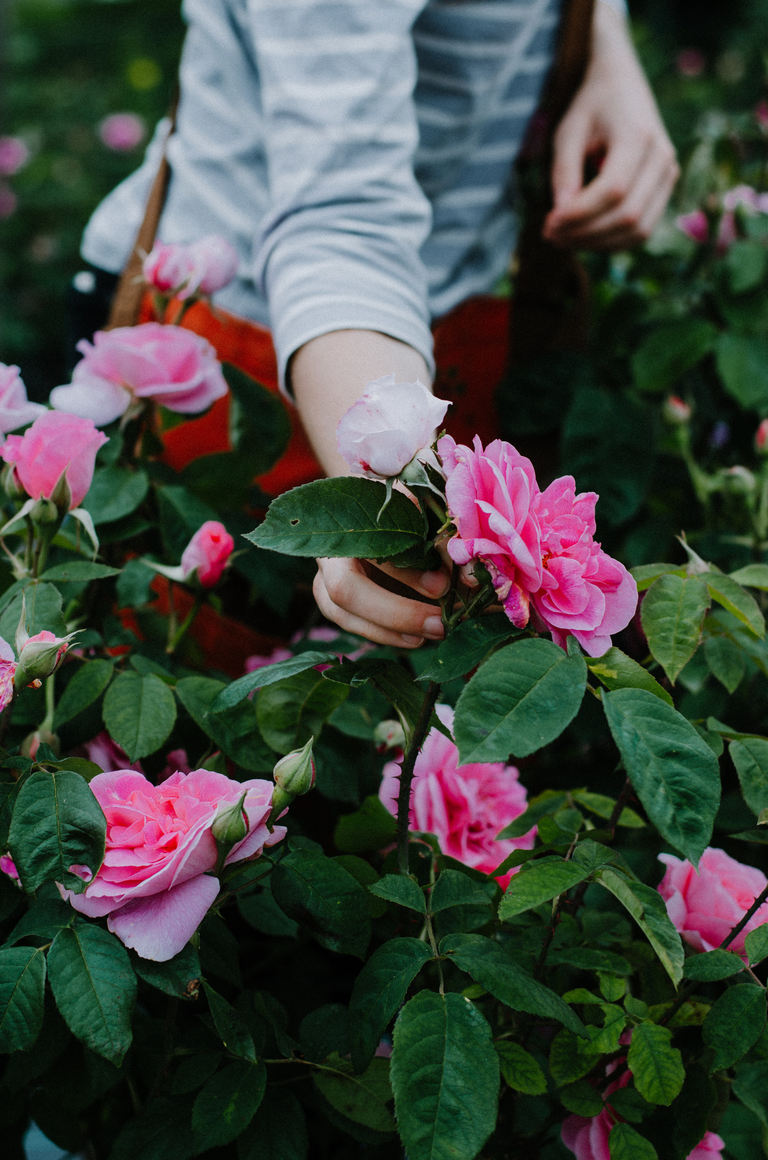 Fierce Botanics - Rose Picking - Aiste Saulyte Photography-100.jpg