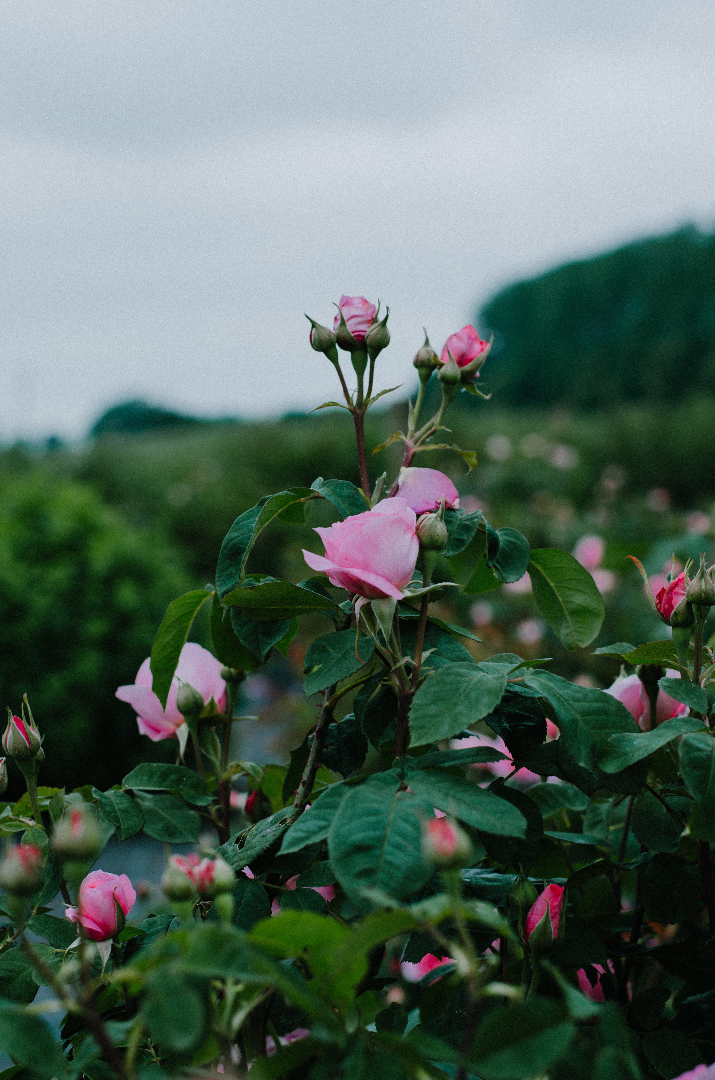 Fierce Botanics - Rose Picking - Aiste Saulyte Photography-112.jpg