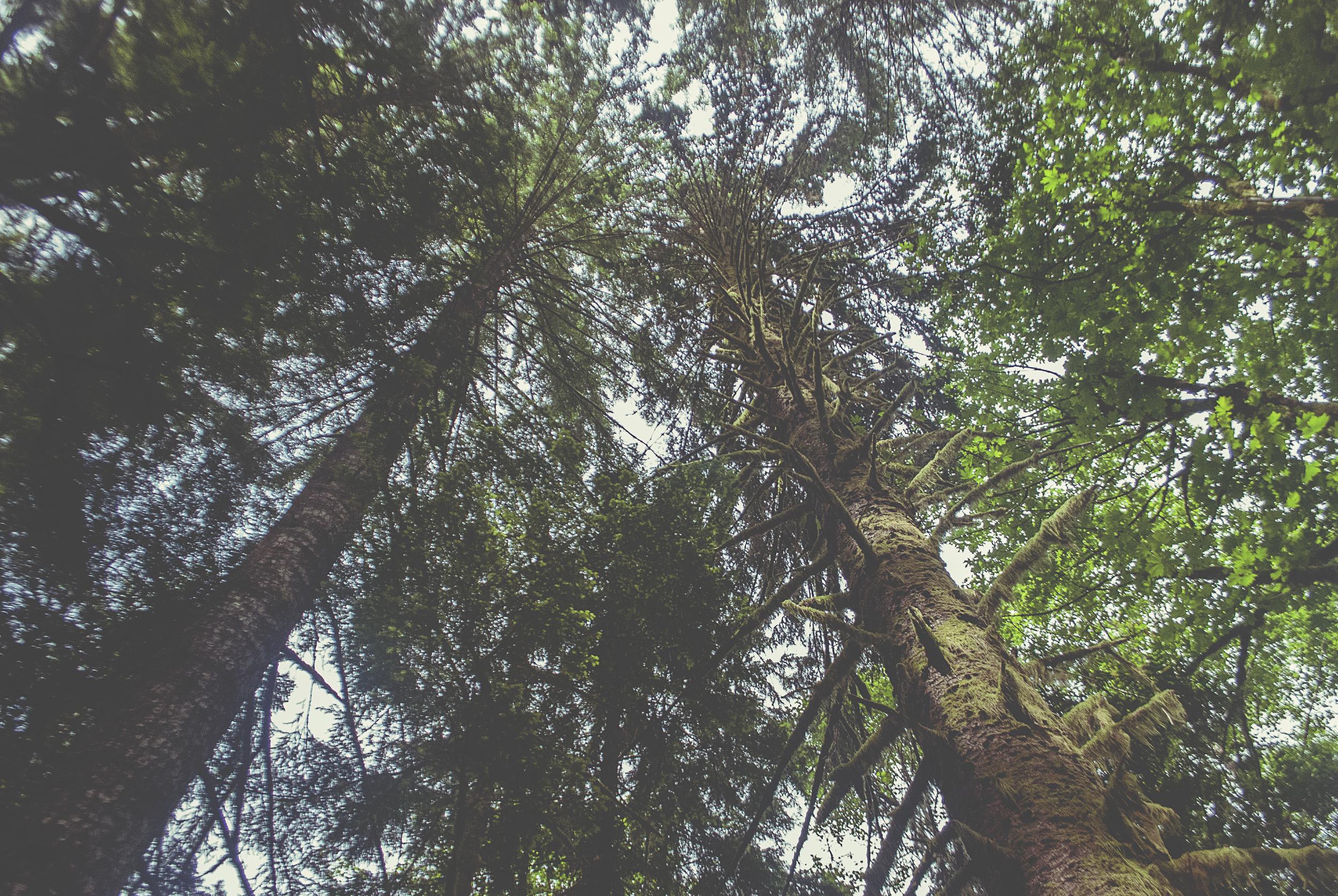 Seattle_trees_looking_up_tops_DSC0122.jpg