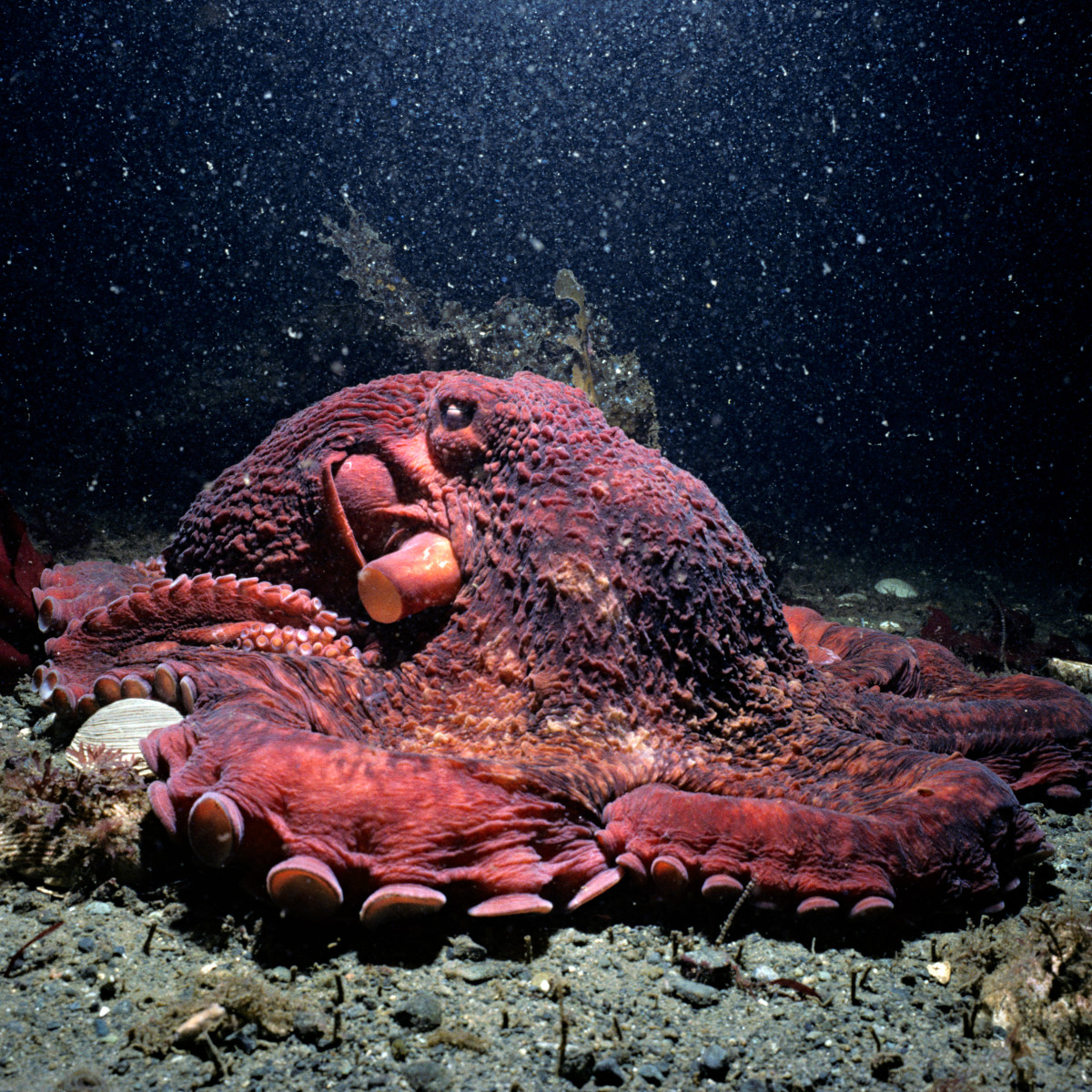 GiantPacificOctopus_Jeff.jpg