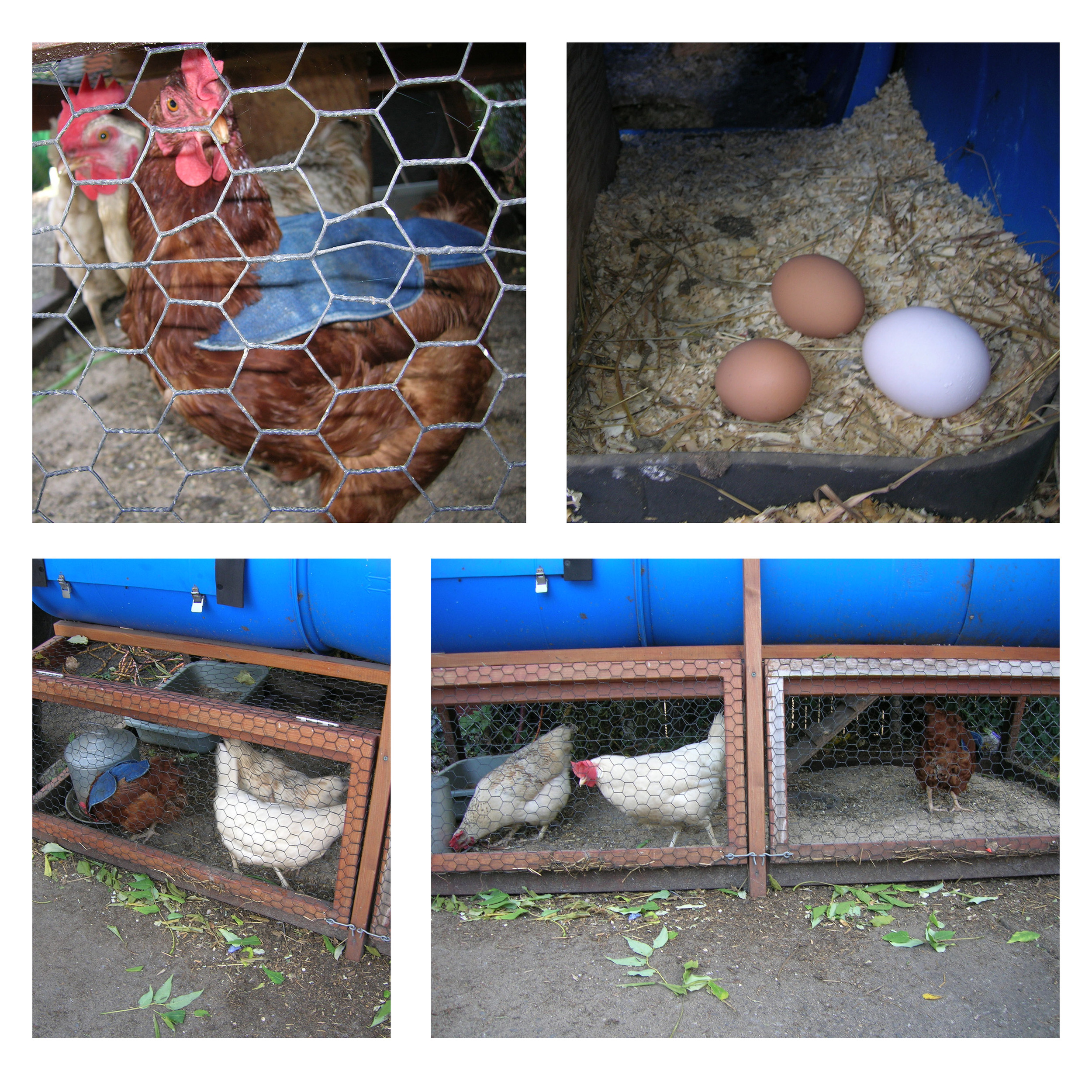 • Here are images of the hens, their eggs and of course the cape! •