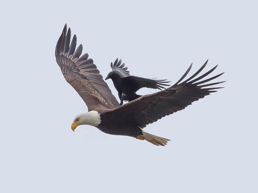 crow on eagle inspiration