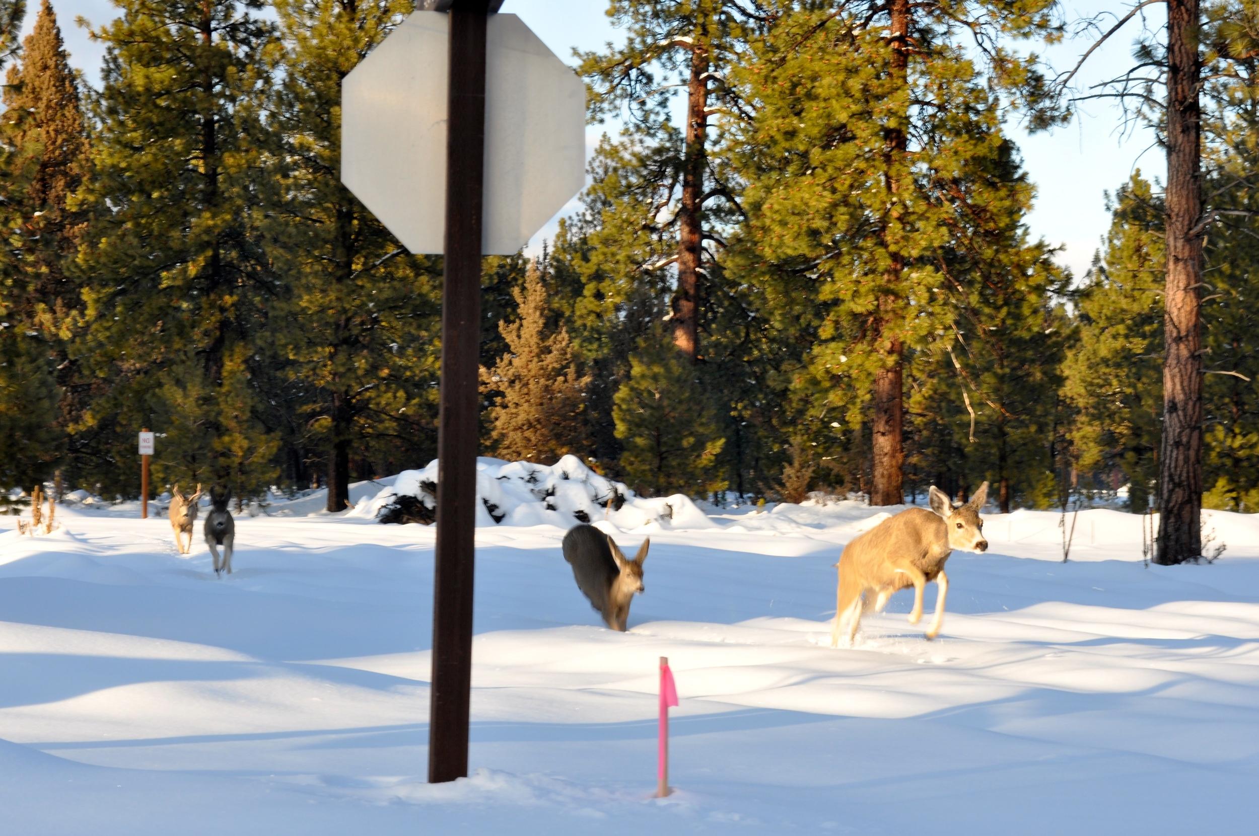 Deer leap through the snow near our house