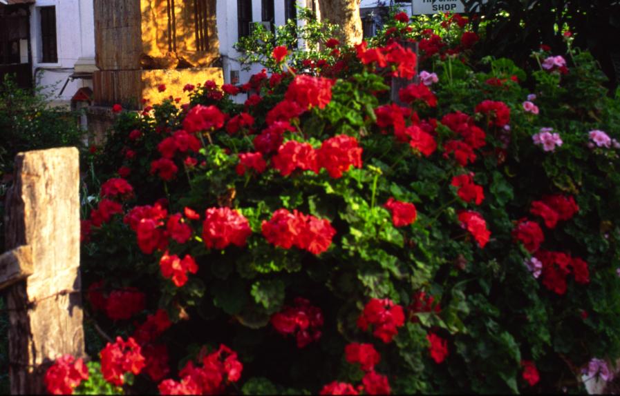 Kas geraniums.jpg