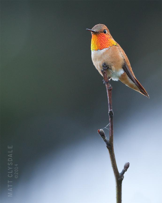 Rufous Hummingbird at Kalaloch Creek (pronounced Ka-lay'-lock)