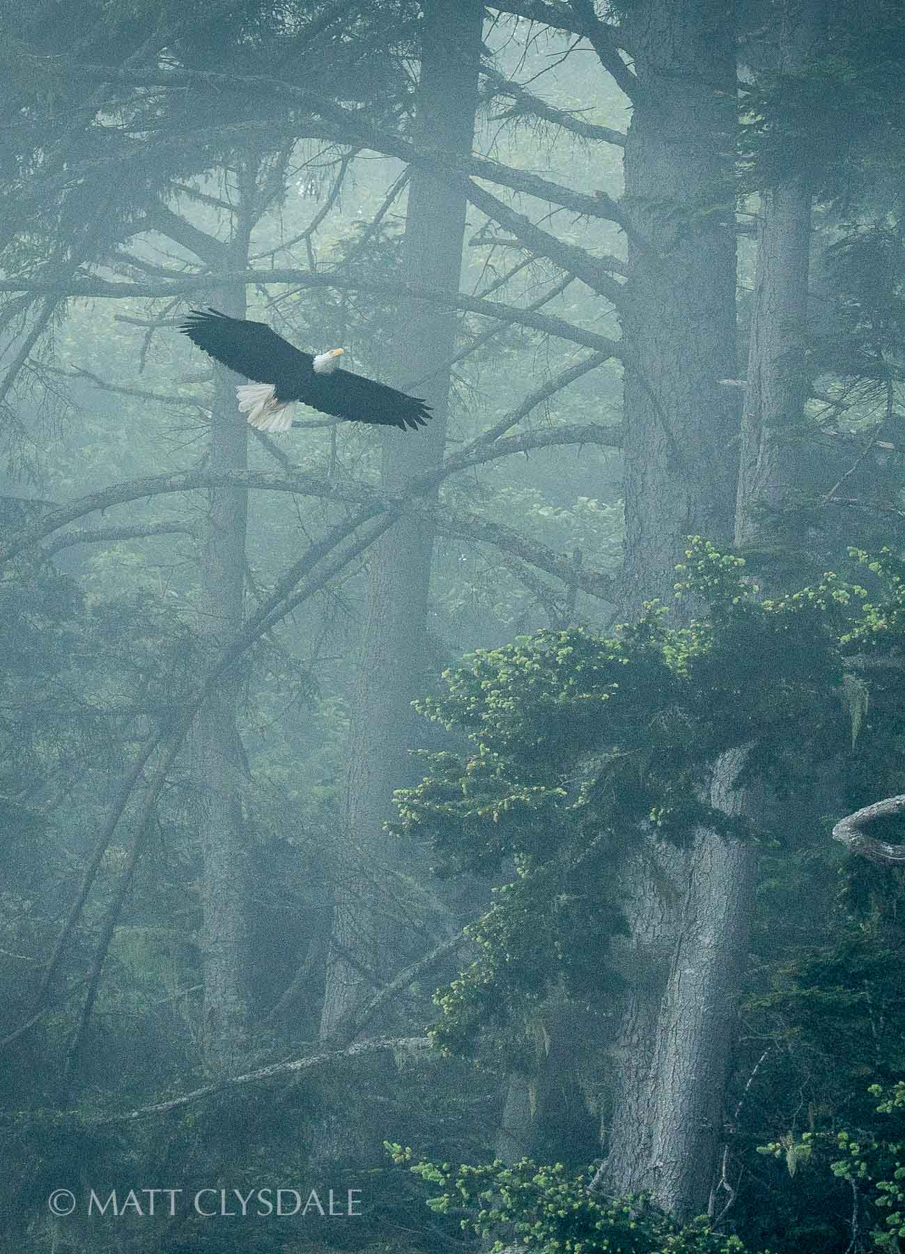 Crescent Bay Resident Eagle