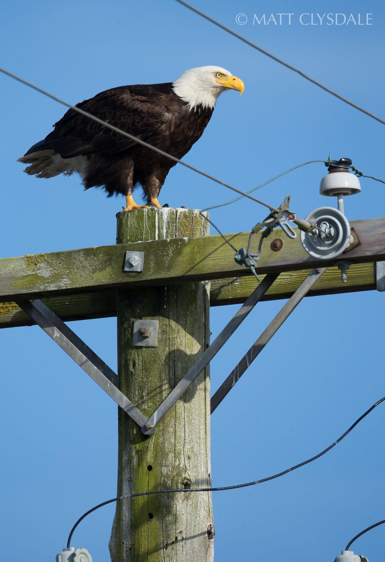 Port Townsend Marina Eagle