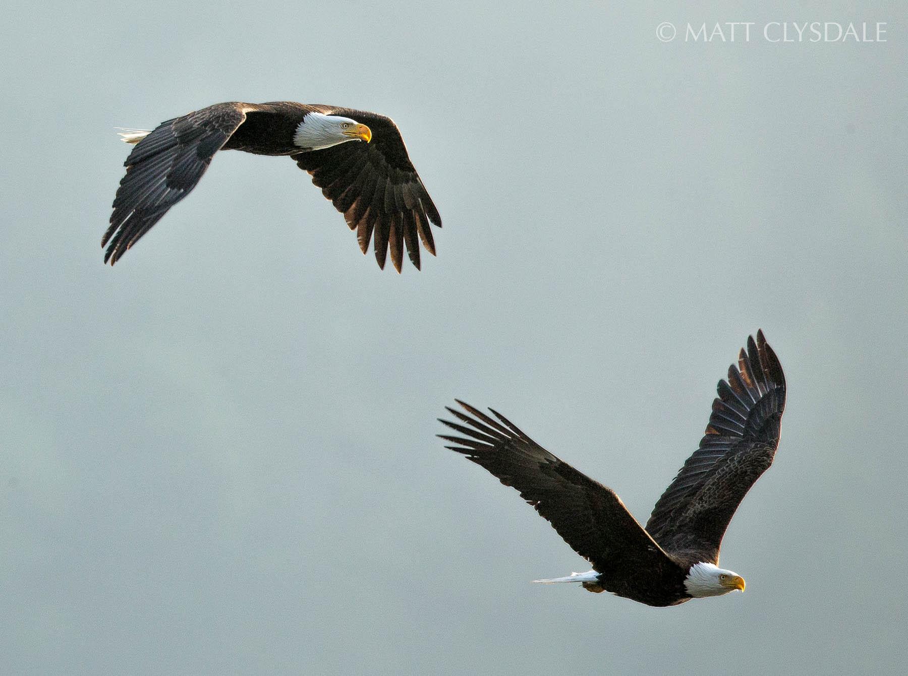 Crescent Bay Eagle Pair