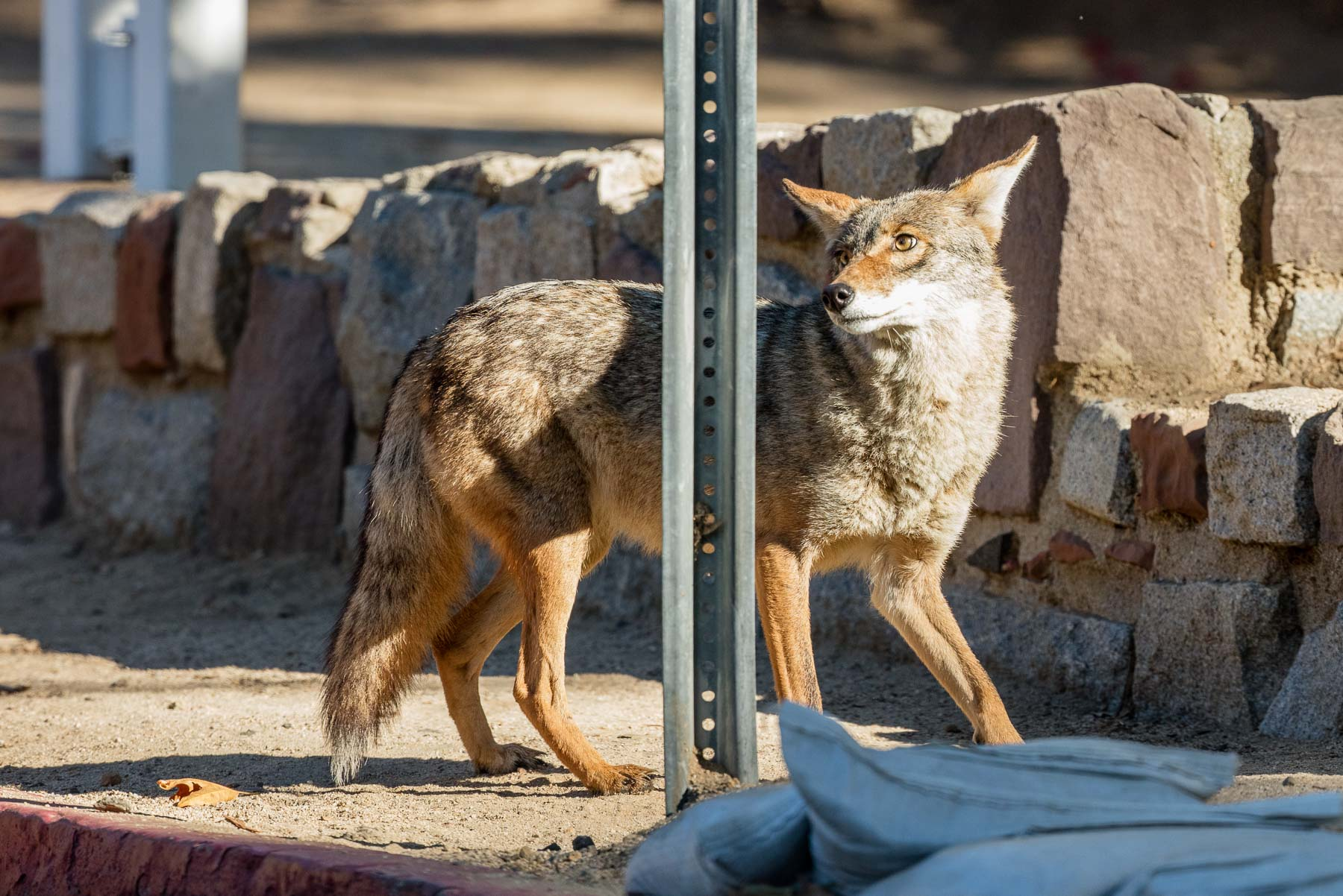 The coyote aren't totally tame. They're still a little wary of anything human coming too close.