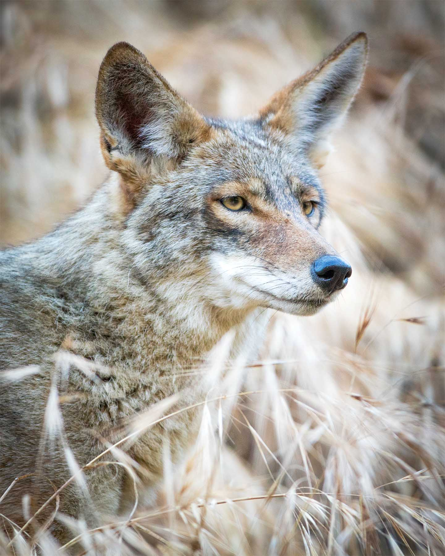 "Captured this shot after the coyote wandered up the hill into more ""natural"" habitat."