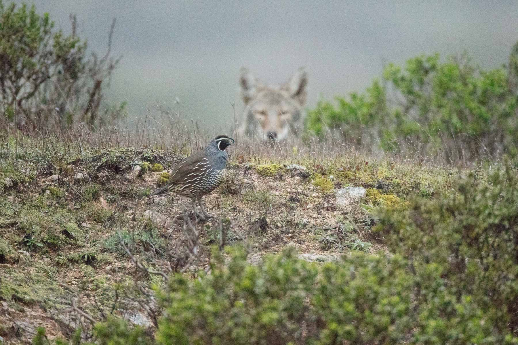 Male California Quail being sized-up by a Coyote on the prowl.