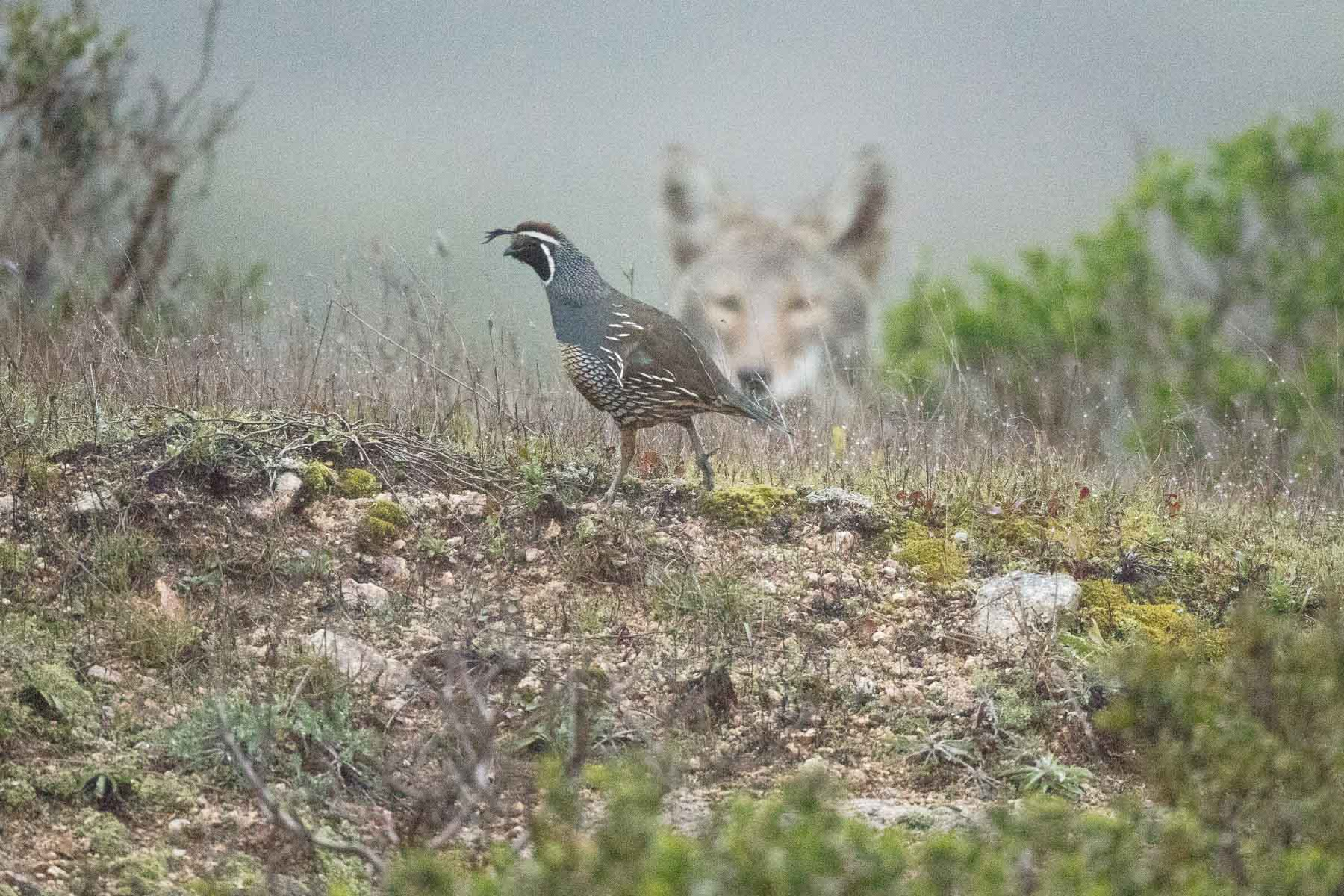 Coyote contemplating a California Quail, for breakfast.