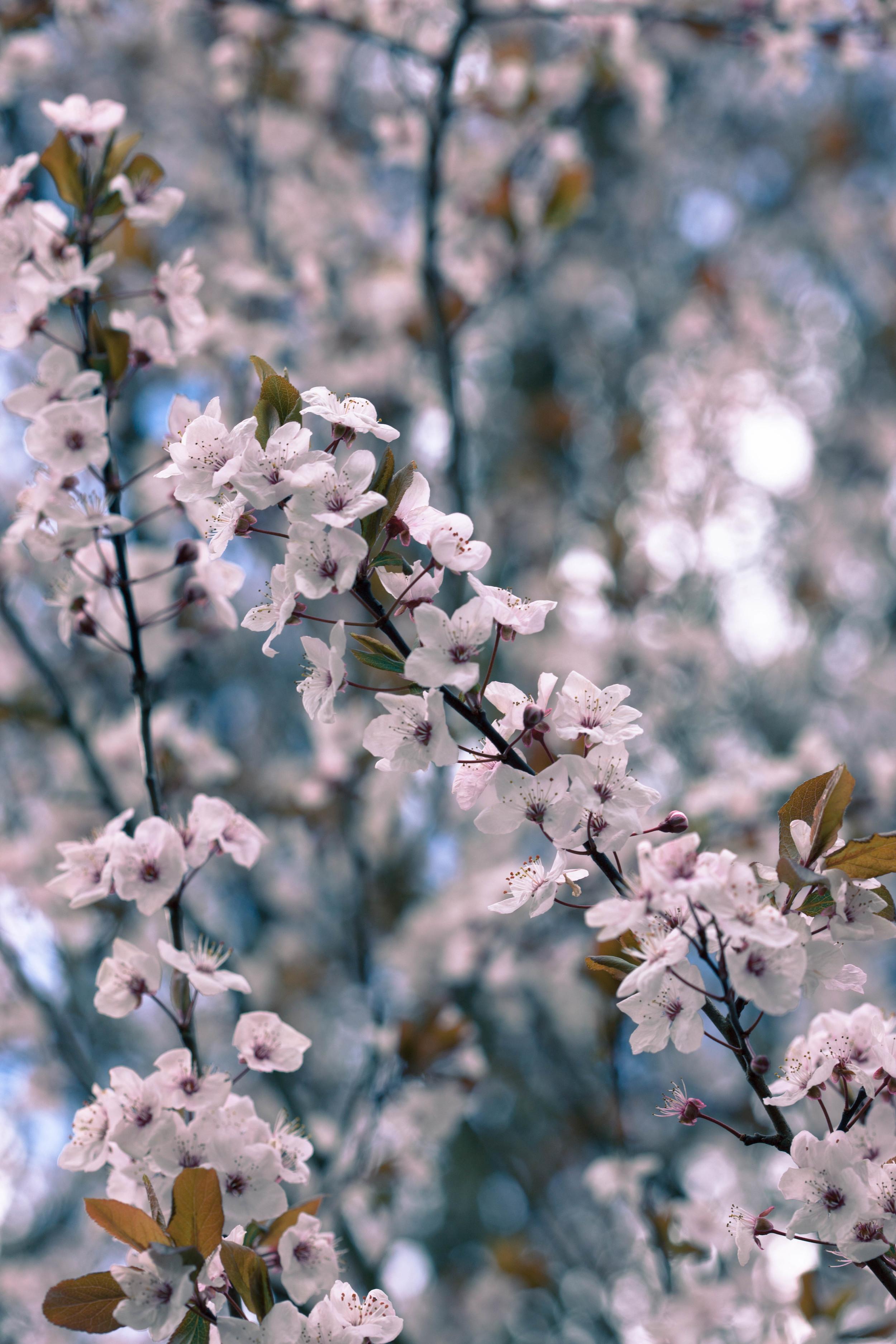 Tassie Spring_060912_0448blossoms.jpg