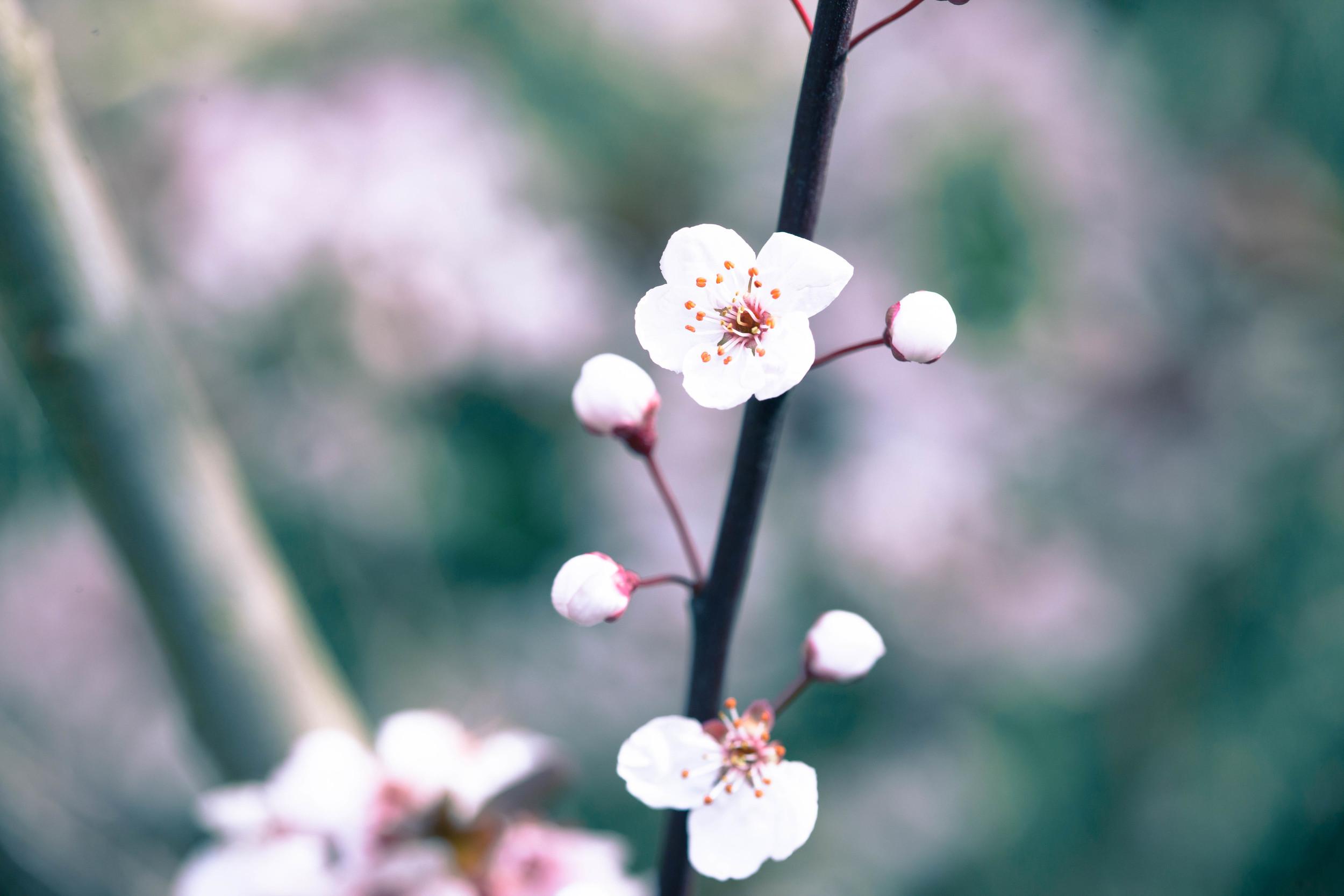 Tassie Spring_060912_0464blossoms.jpg