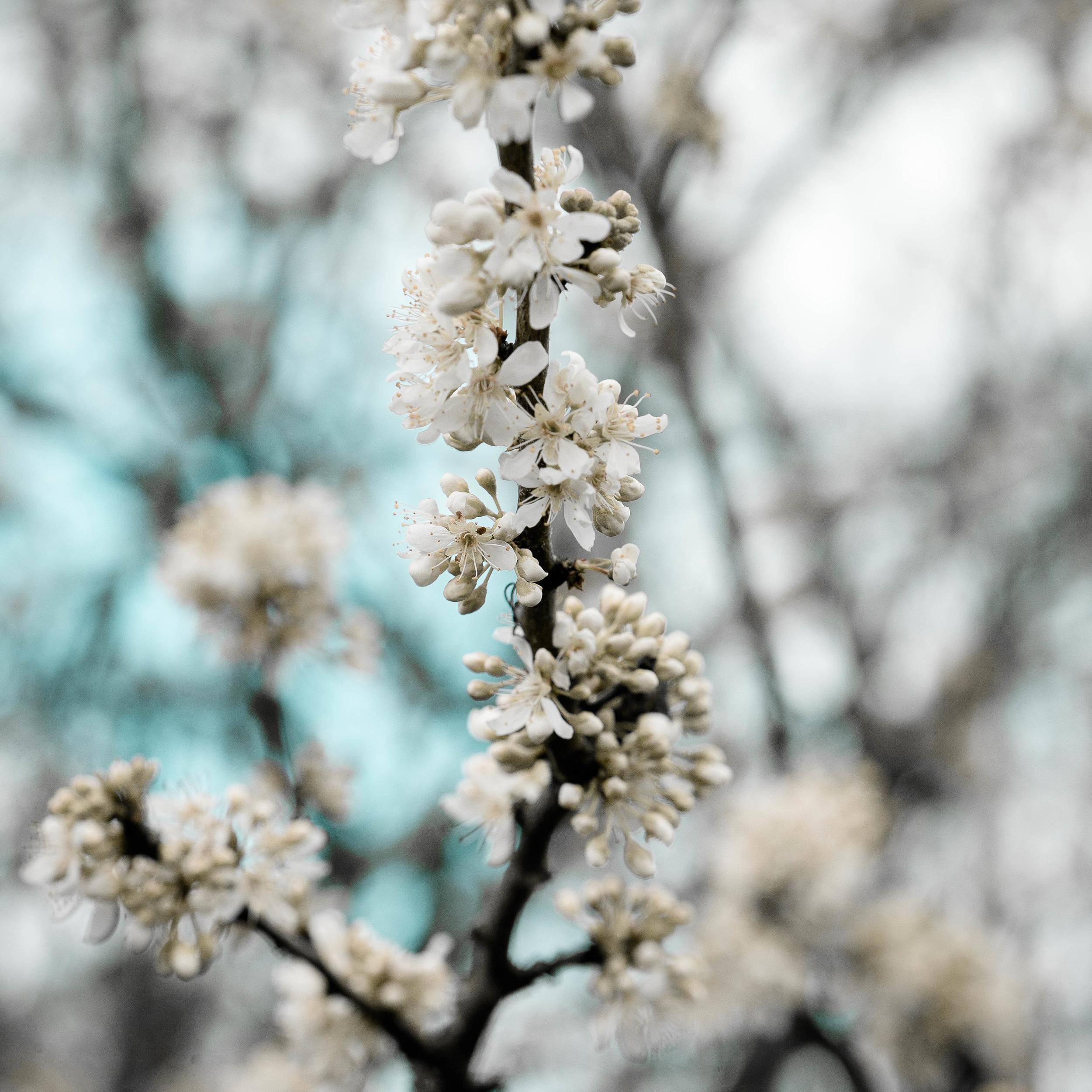 Tassie Spring_060912_0542blossoms.jpg
