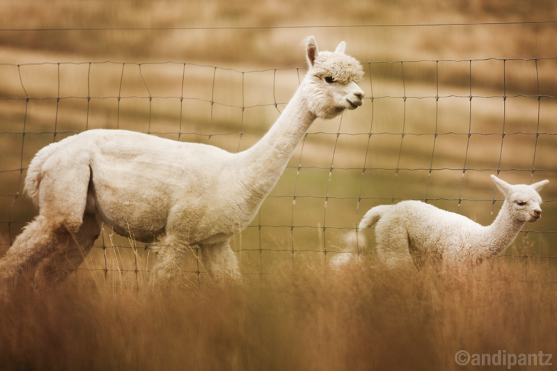AlpacaMamaBaby.jpg