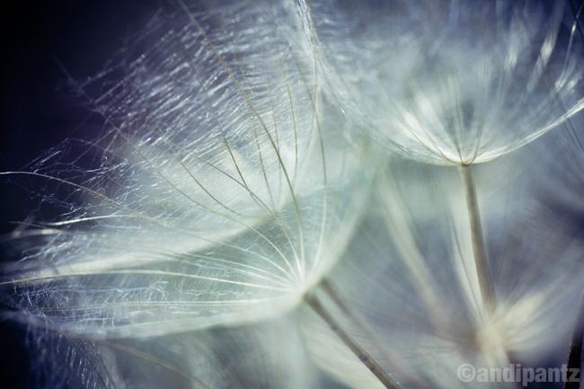 dandelion2.jpg