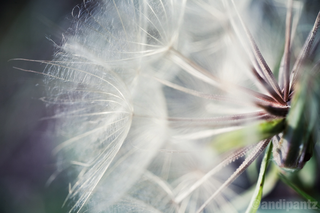 dandelion3.jpg