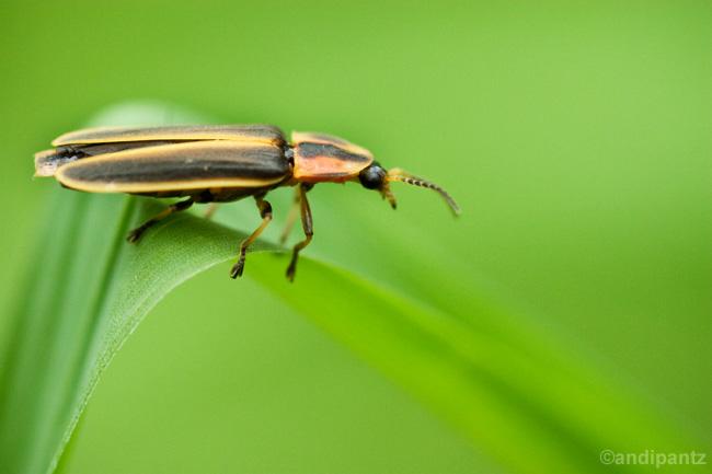 lightningbug.jpg