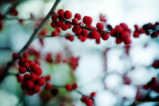 winterberries4.jpg