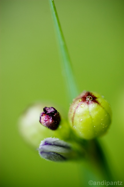 blueeyedgrass.jpg