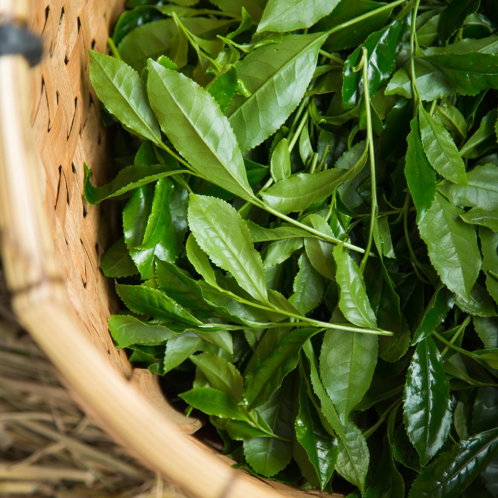 Matcha+tea+leaves+after+picking+up.jpg