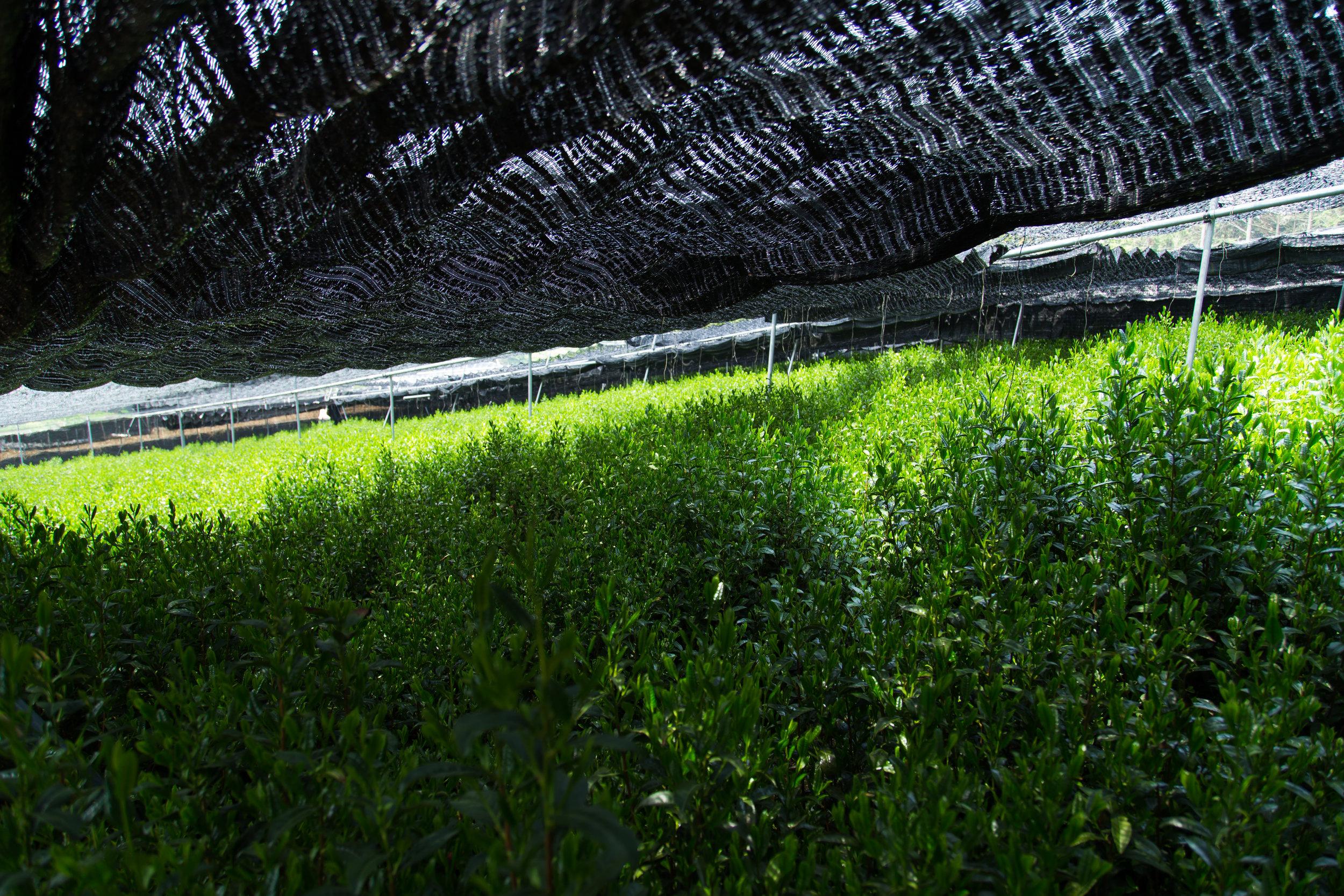 Tea farms for Matcha.JPG