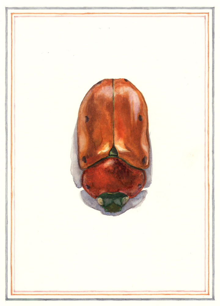 Spotted June Beetle