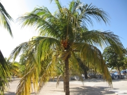 palm w coconuts.JPG
