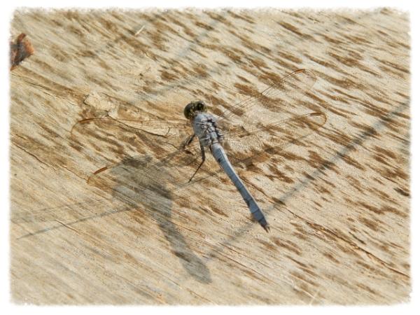 Lovely, lazy dragonfly.
