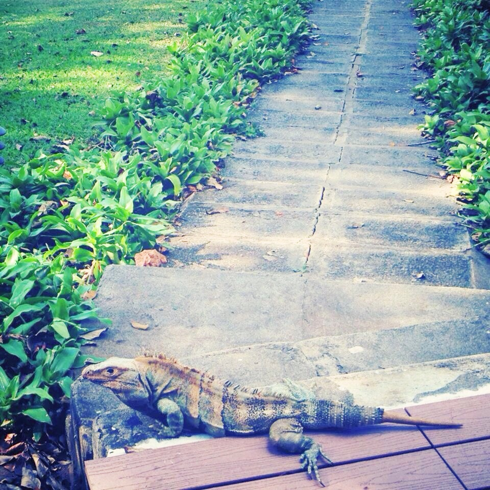 iguana-olivia-christine-costa-rica