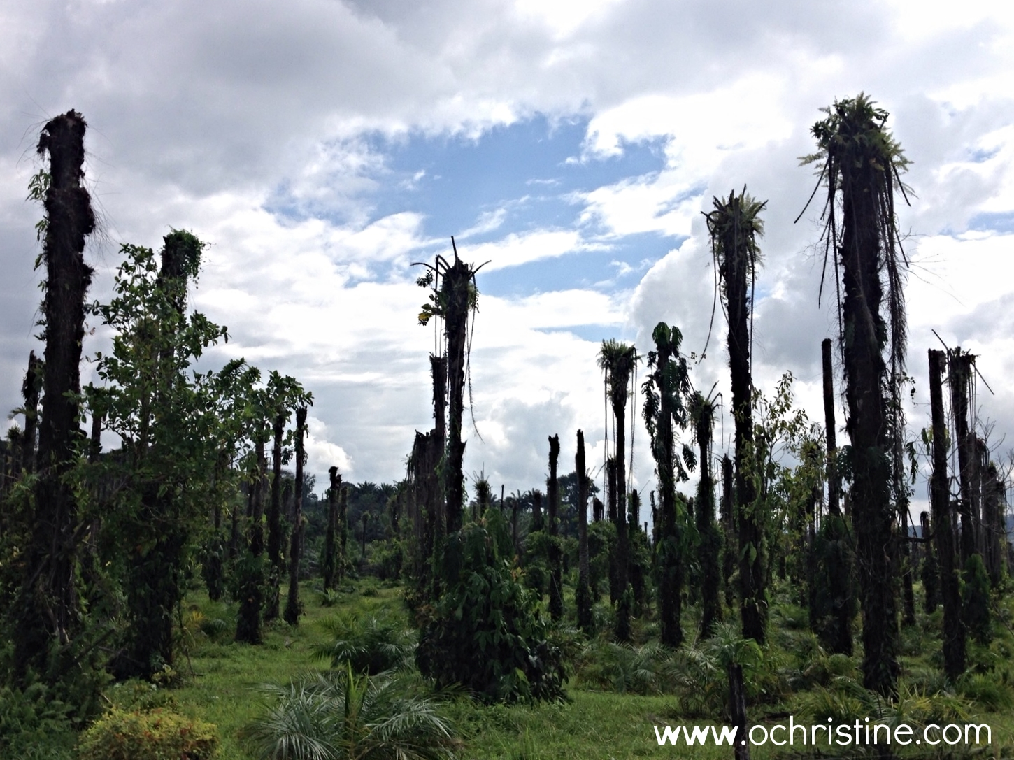 While driving out of Puerto Jimenez, we passed a peculiar field of what seemed like dead palms. We couldn't figure out if they rotted and were cut down or if it was a special type of palm. More research later...