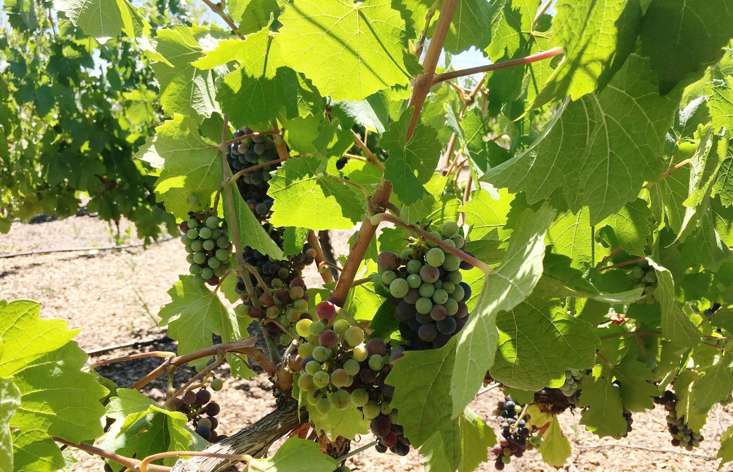 red-wine-grapes-sinfin-mendoza-ochristine