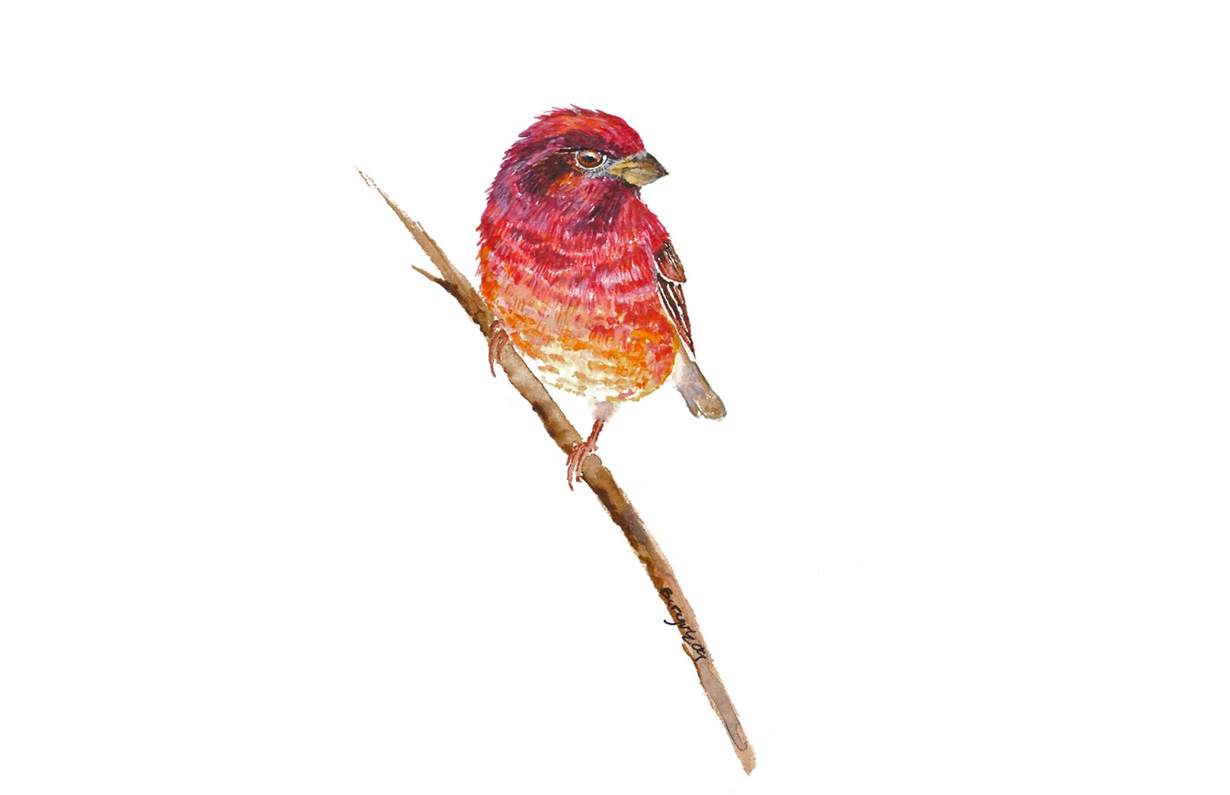 Haemorhous purpureus,  watercolor
