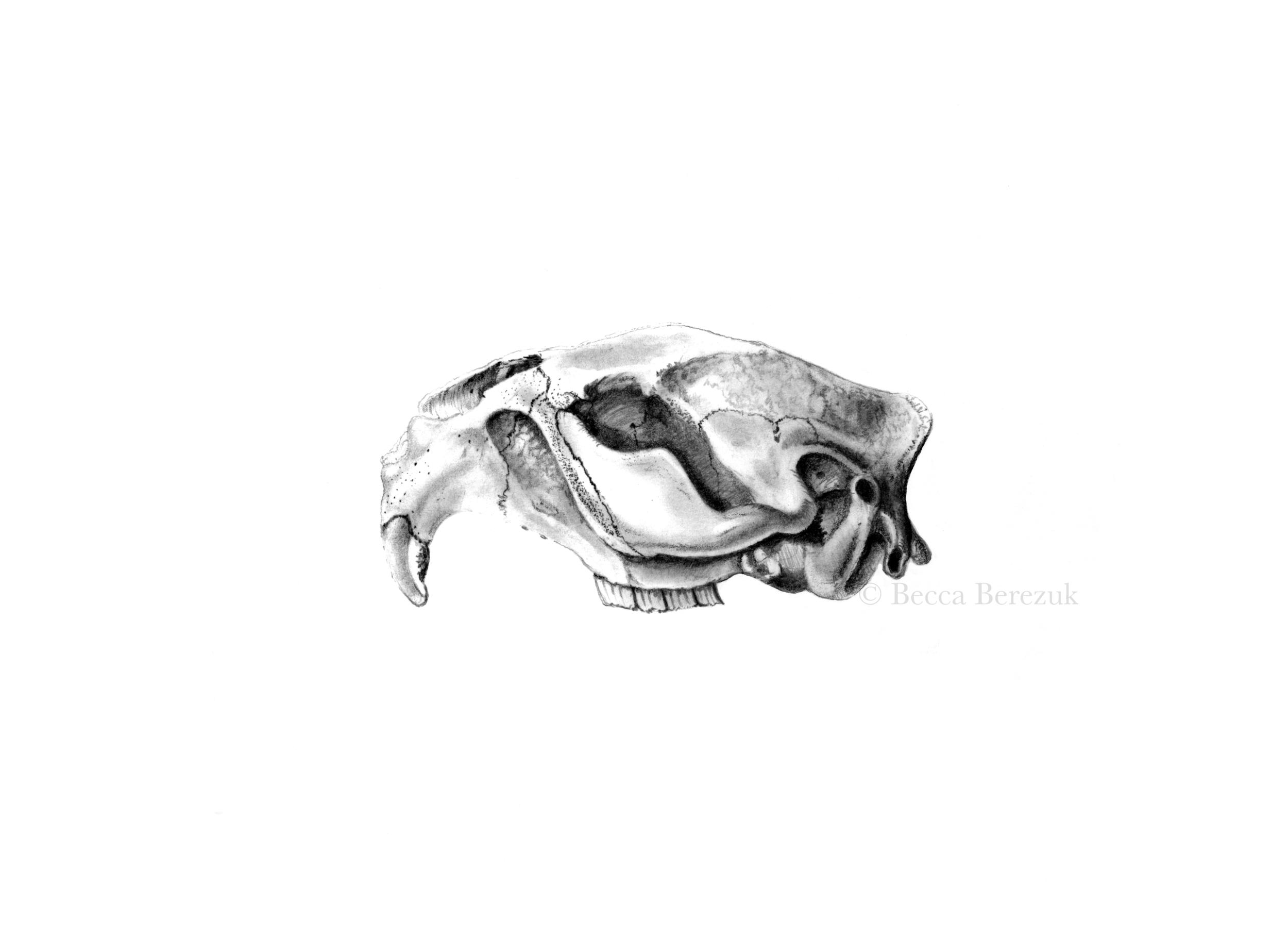 Beaver skull, graphite