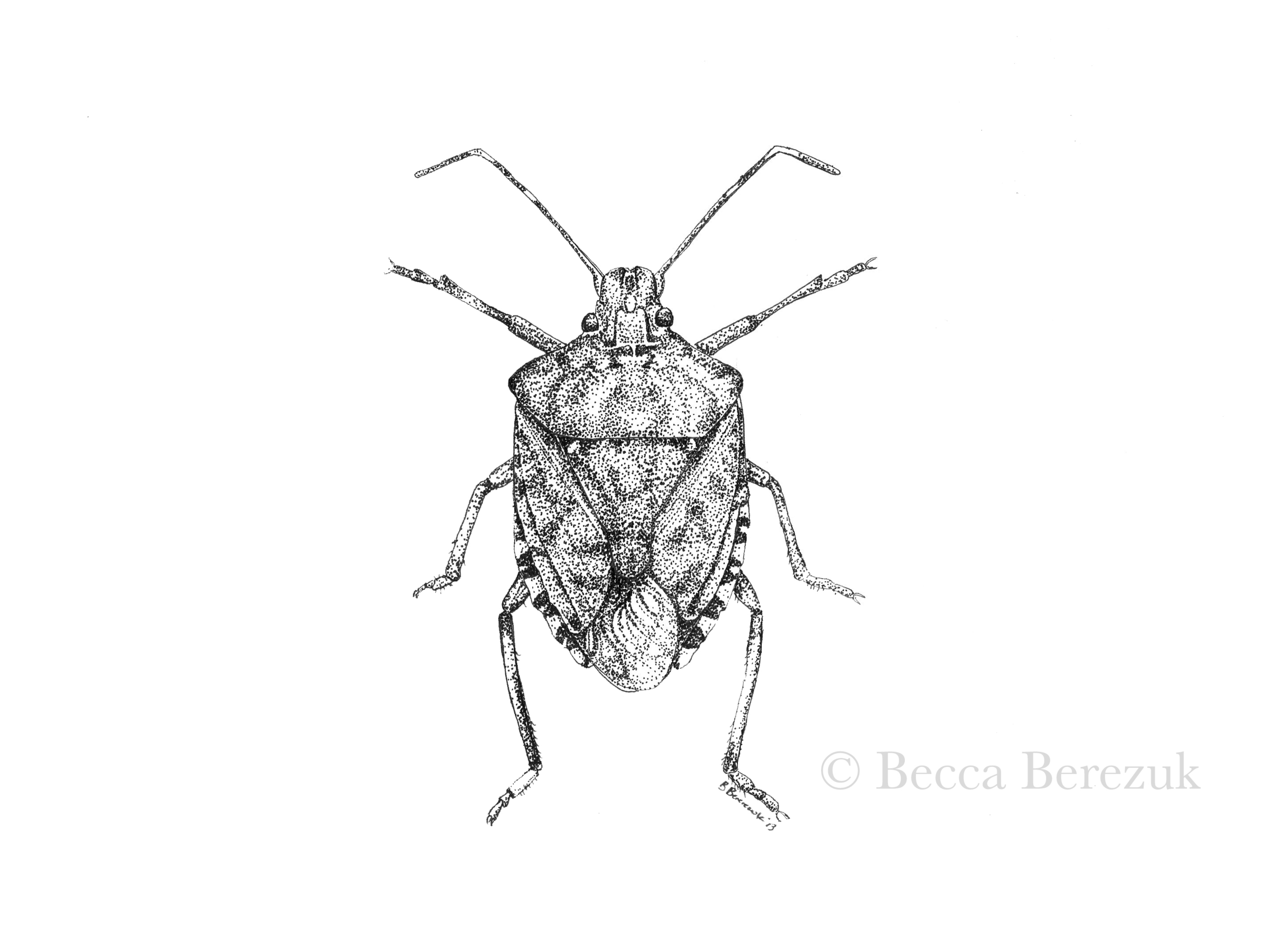 Pentatomidae,  pen and ink