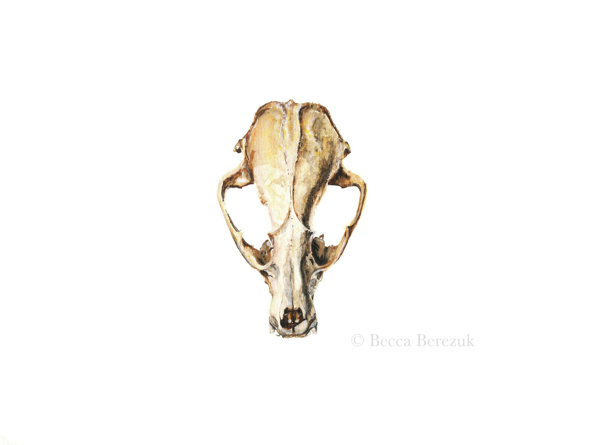 Raccoon skull,  watercolor
