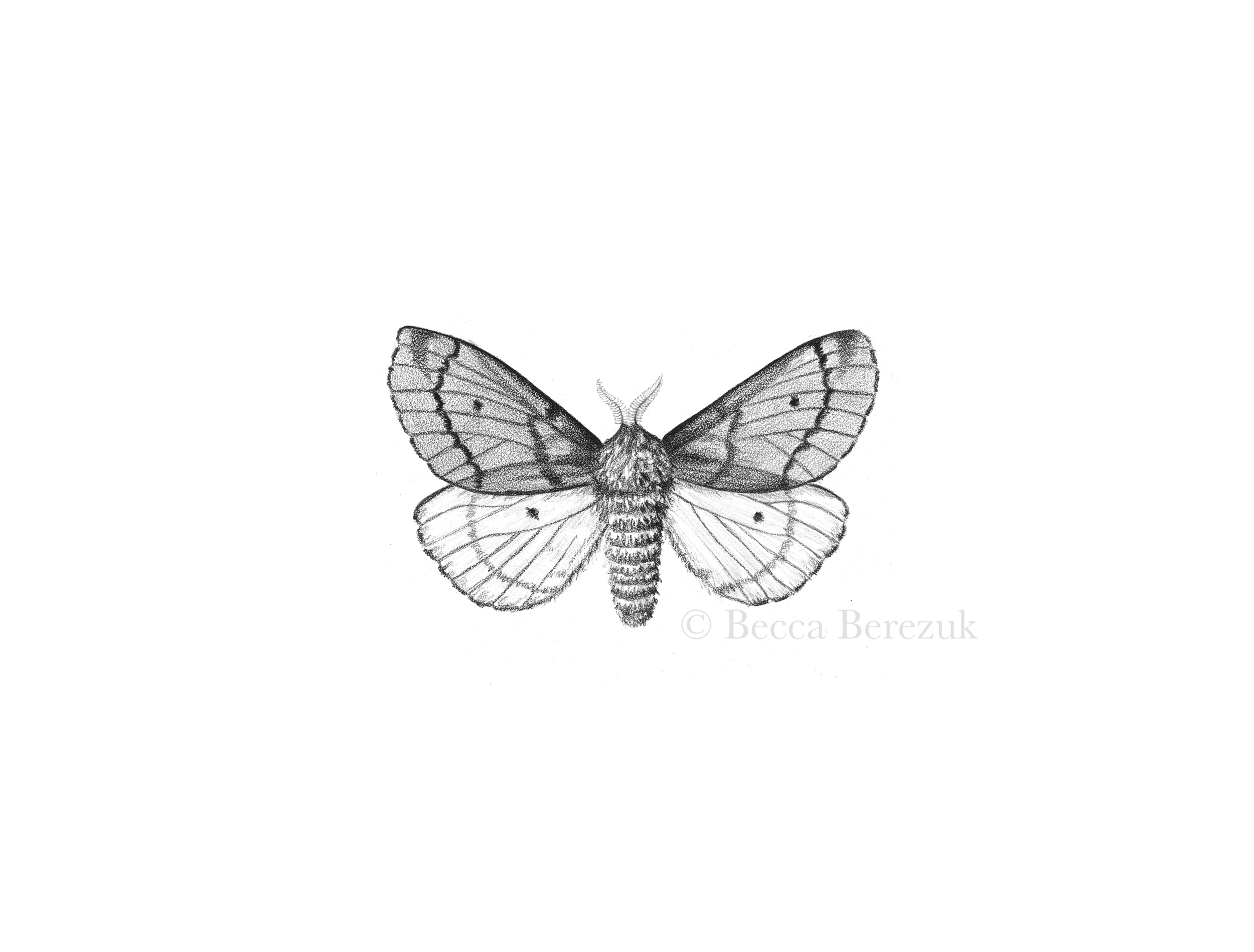 Pandora Pinemoth,  graphite on coquille board