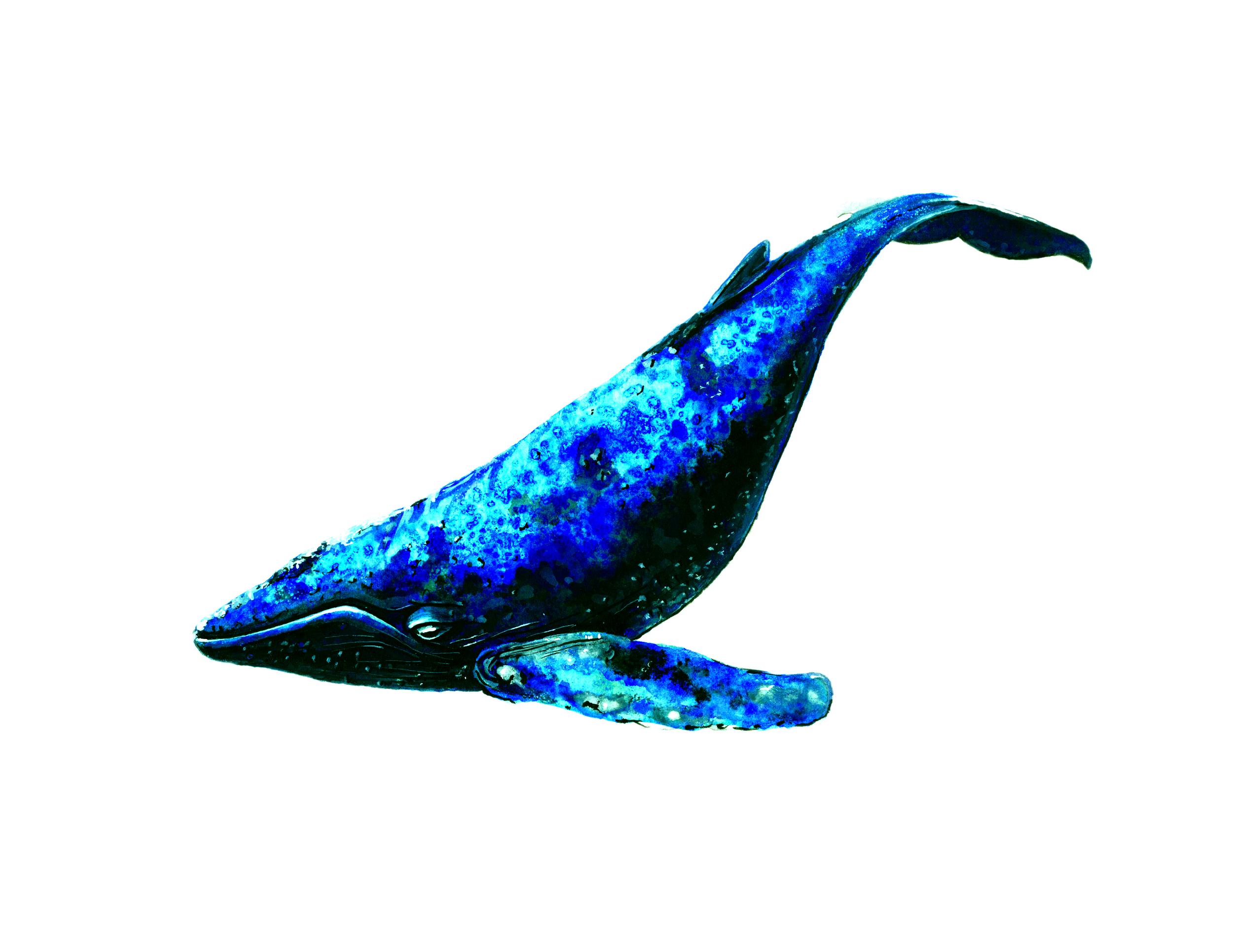 Blue Whale,  watercolor