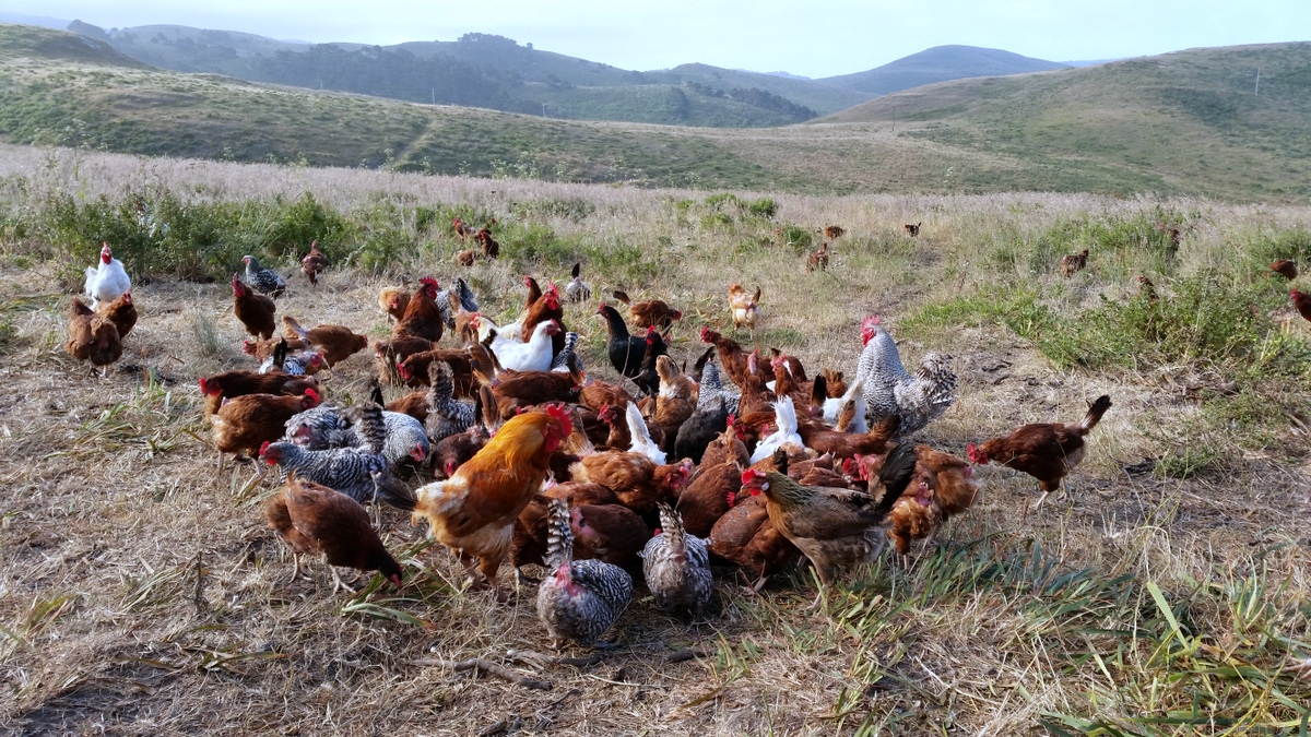 A flock of chickens gathered around a single egg that was thrown into the field.