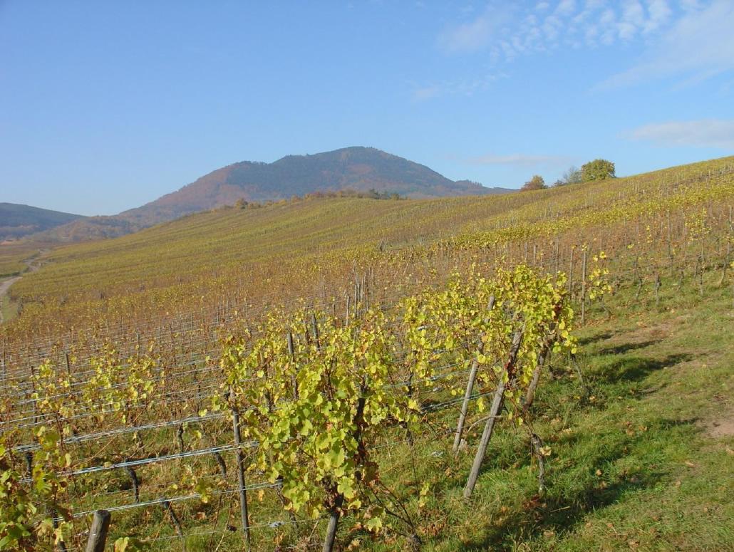 Zicht op de Muenchberg wijngaard nabij Nothalten