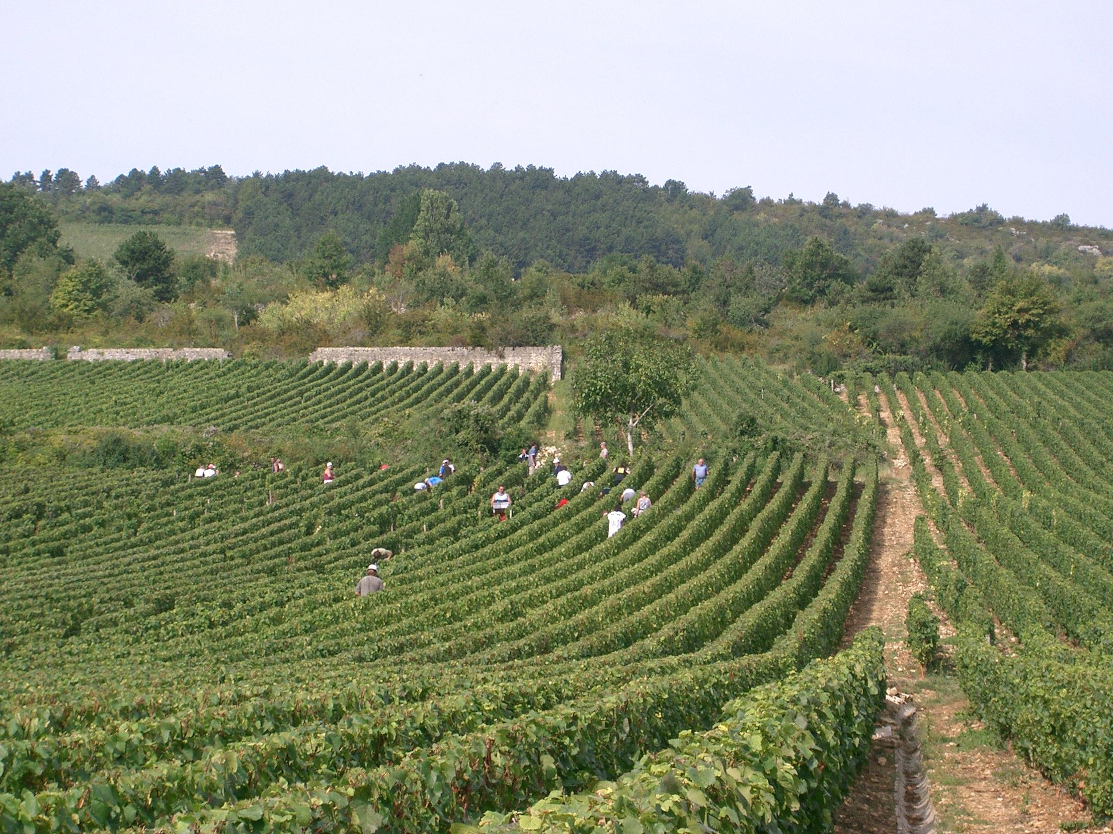 Vendanges_à_Meursault_(Bourgogne).jpg