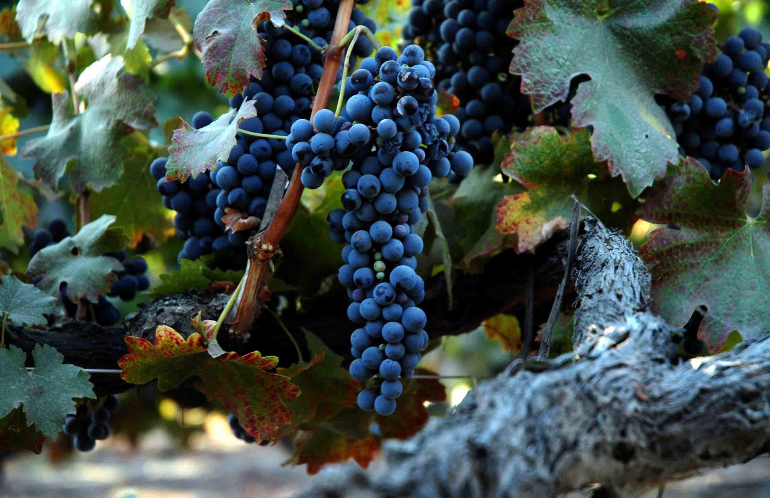 Grape_of_old_vine_shiraz.jpg
